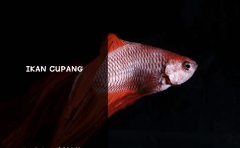 Ikan Cupang Ekor Merah